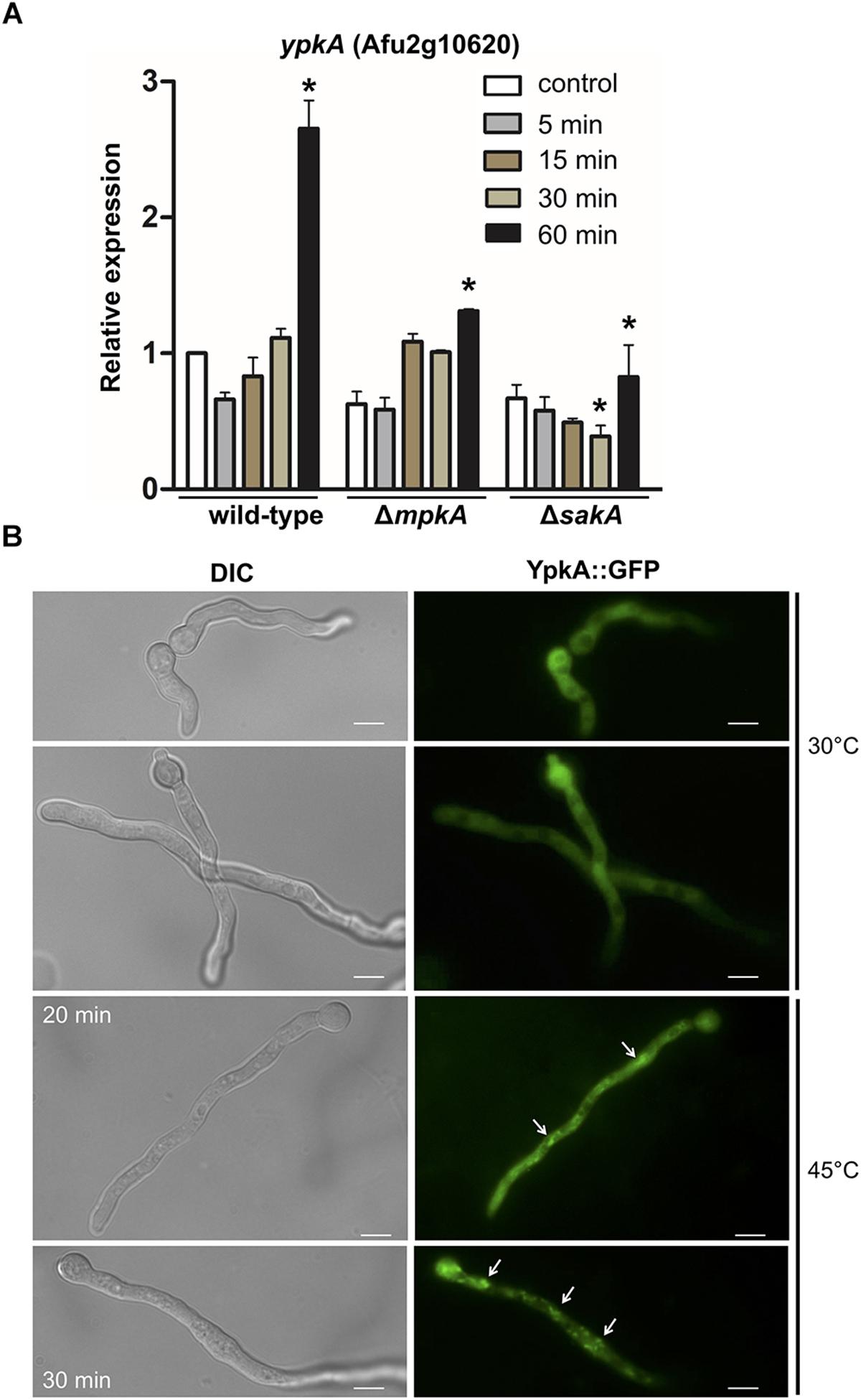 Frontiers | The AGC Kinase YpkA Regulates Sphingolipids Biosynthesis