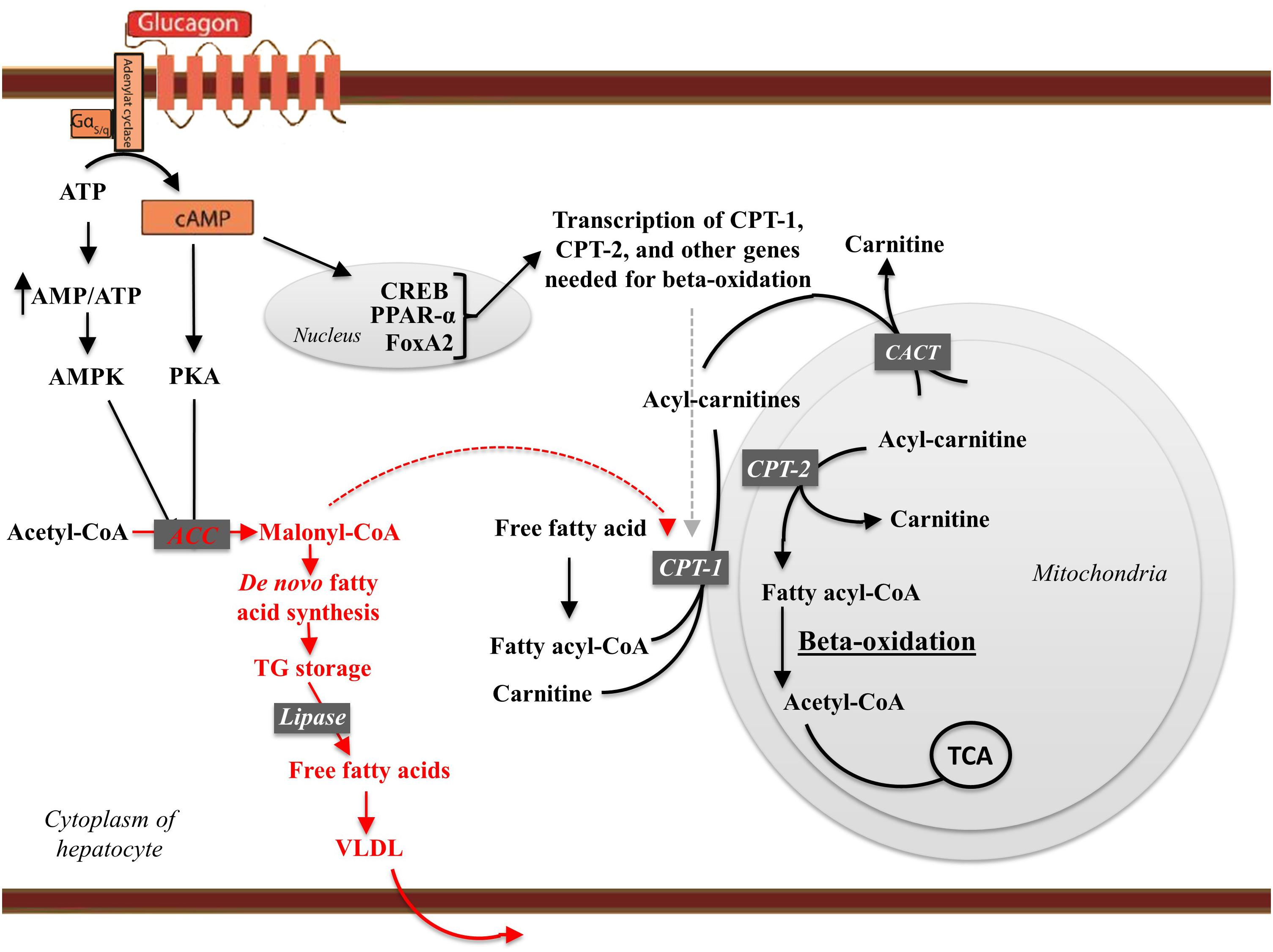 What is the fat burning mechanism of glucagon