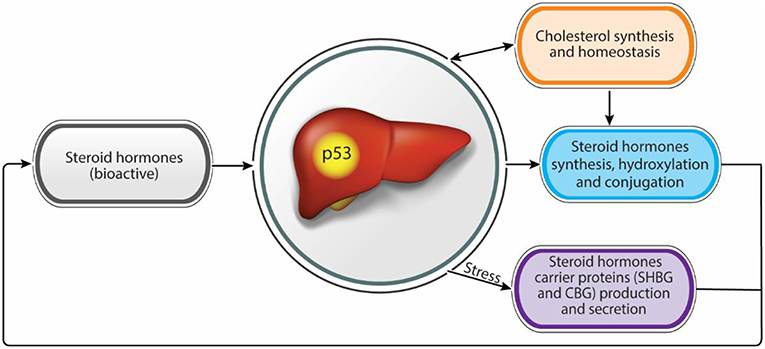 Frontiers | Liver and Steroid Hormones—Can a Touch of p53
