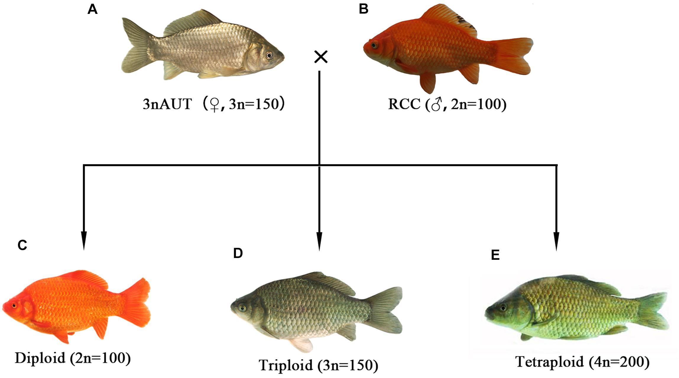Frontiers | The Sterility of Allotriploid Fish and Fertility of