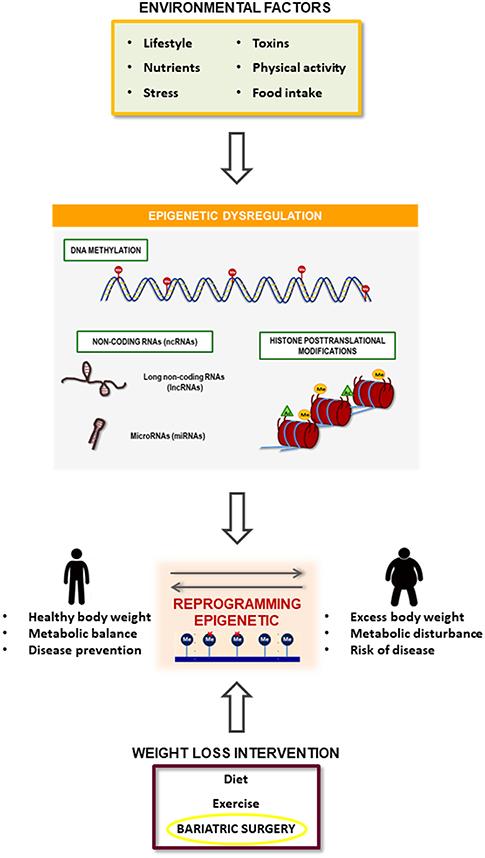 Chapter 14, Epigenomic Factors in Human Obesity