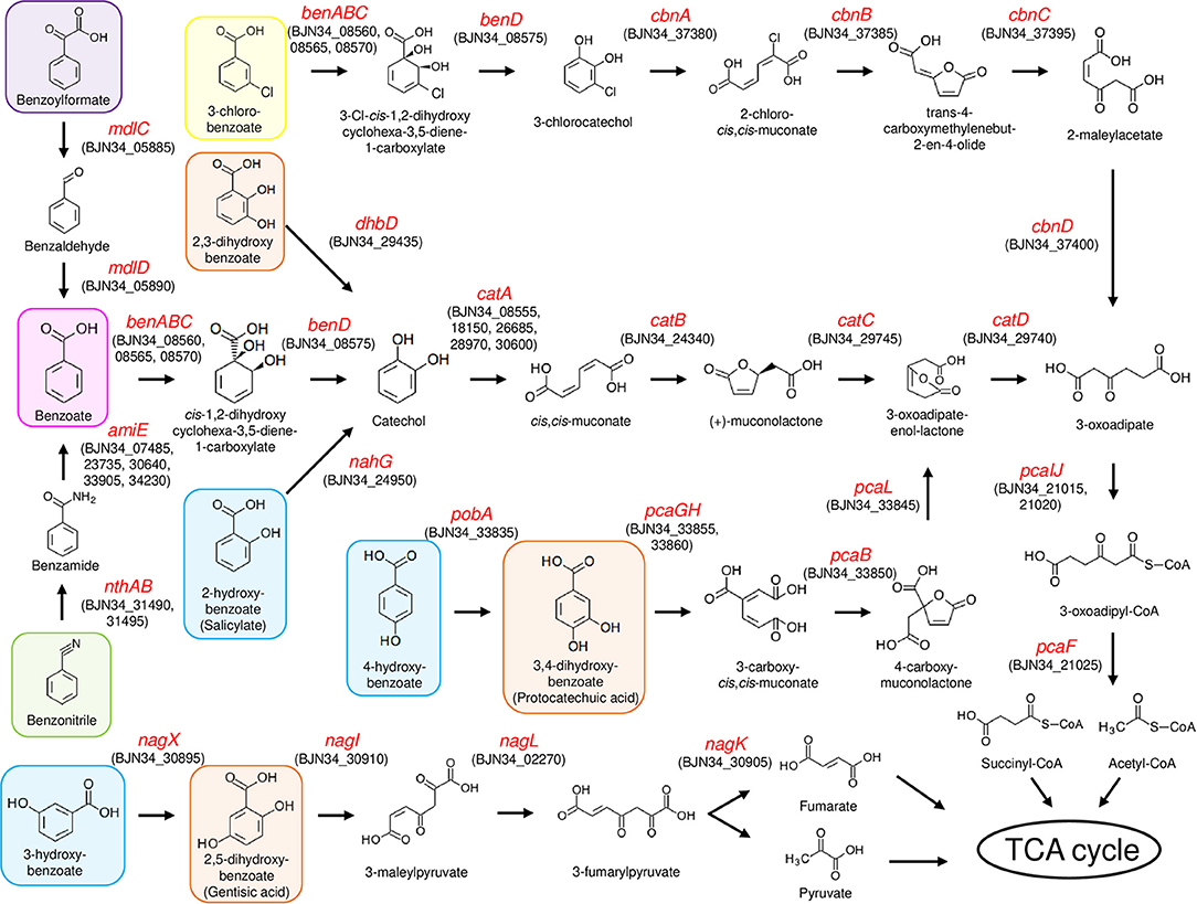 Frontiers   Complete Genome Sequence of 3-Chlorobenzoate