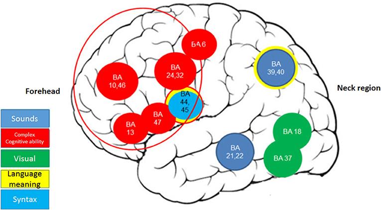 איור 1 - רשת קריאה- אזורים מוחיים המשתתפים בתהליך הקריאה: יכולות חשיבה גבוהות, כגון: קשב, ריכוז, זיכרון ועוד (עיגולים אדומים), ראייה (עיגולים ירוקים) ושפה (עיגול תכלת).