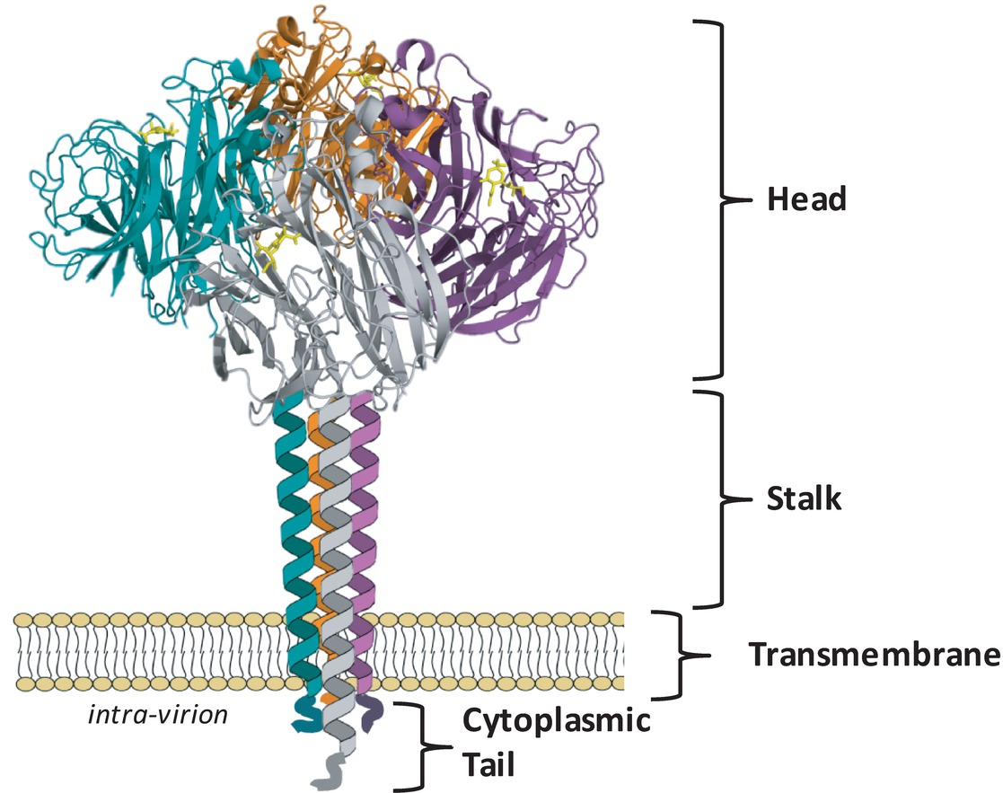 Frontiers | Influenza Virus Neuraminidase Structure and