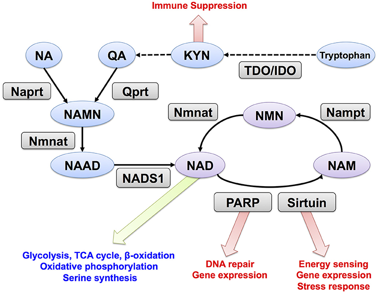Frontiers | NAD Metabolism in Cancer Therapeutics | Oncology