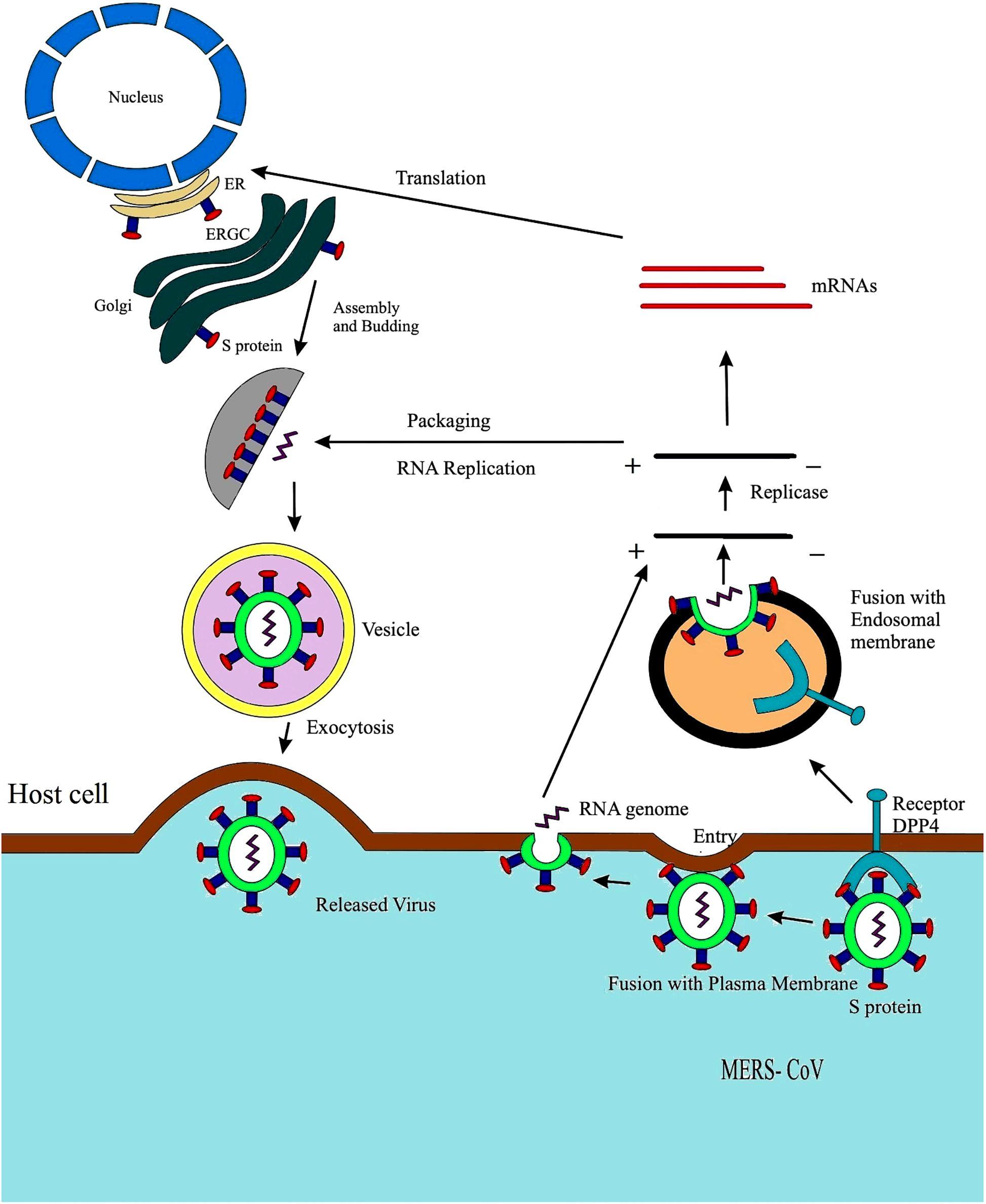 Coronavirus Replication Animation