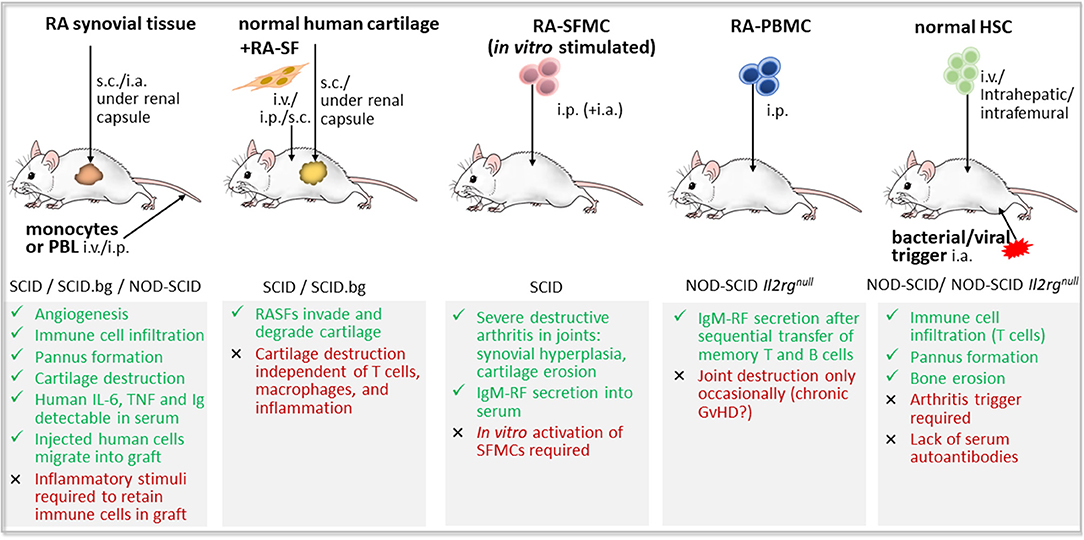 Frontiers | Humanized Mouse Models of Rheumatoid Arthritis for