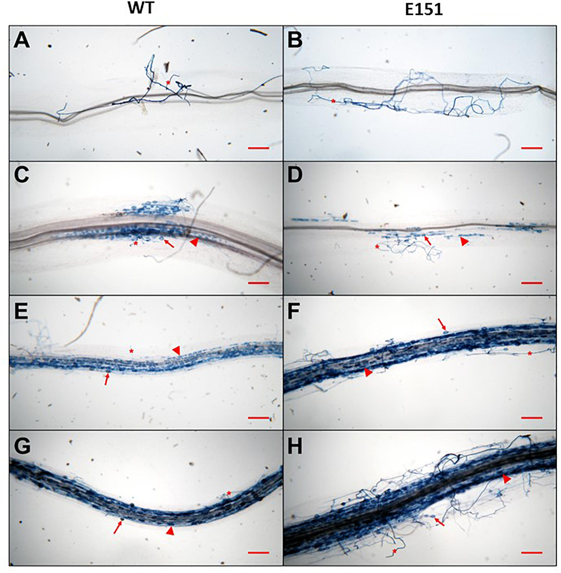 Frontiers | A Stimulatory Role for Cytokinin in the Arbuscular