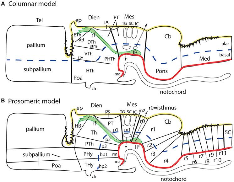 Frontiers | Survey of Midbrain, Diencephalon, and Hypothalamus
