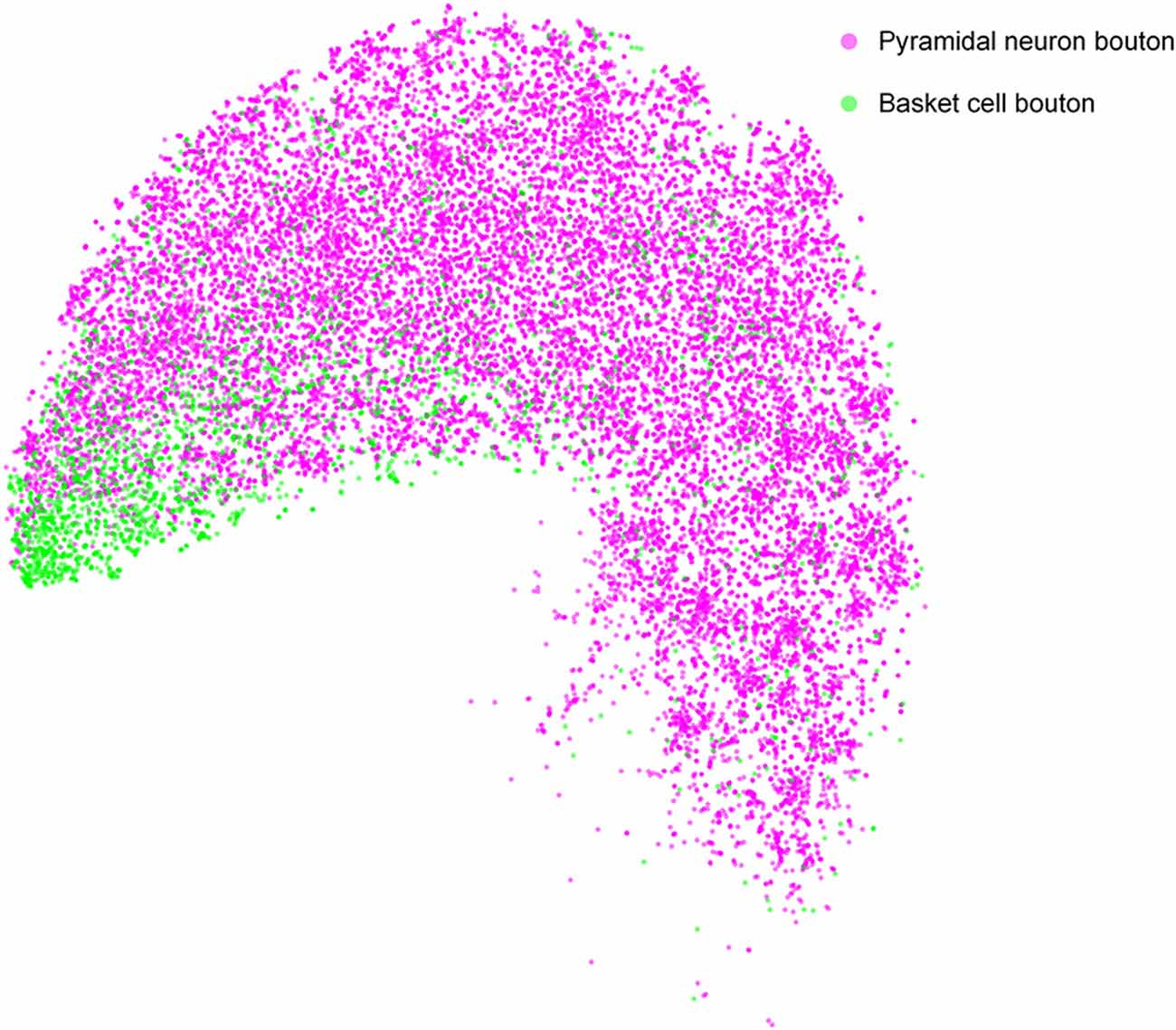 Frontiers | DeepBouton: Automated Identification of Single
