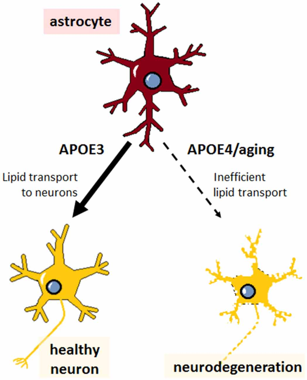 Frontiers | The Role of APOE4 in Disrupting the Homeostatic
