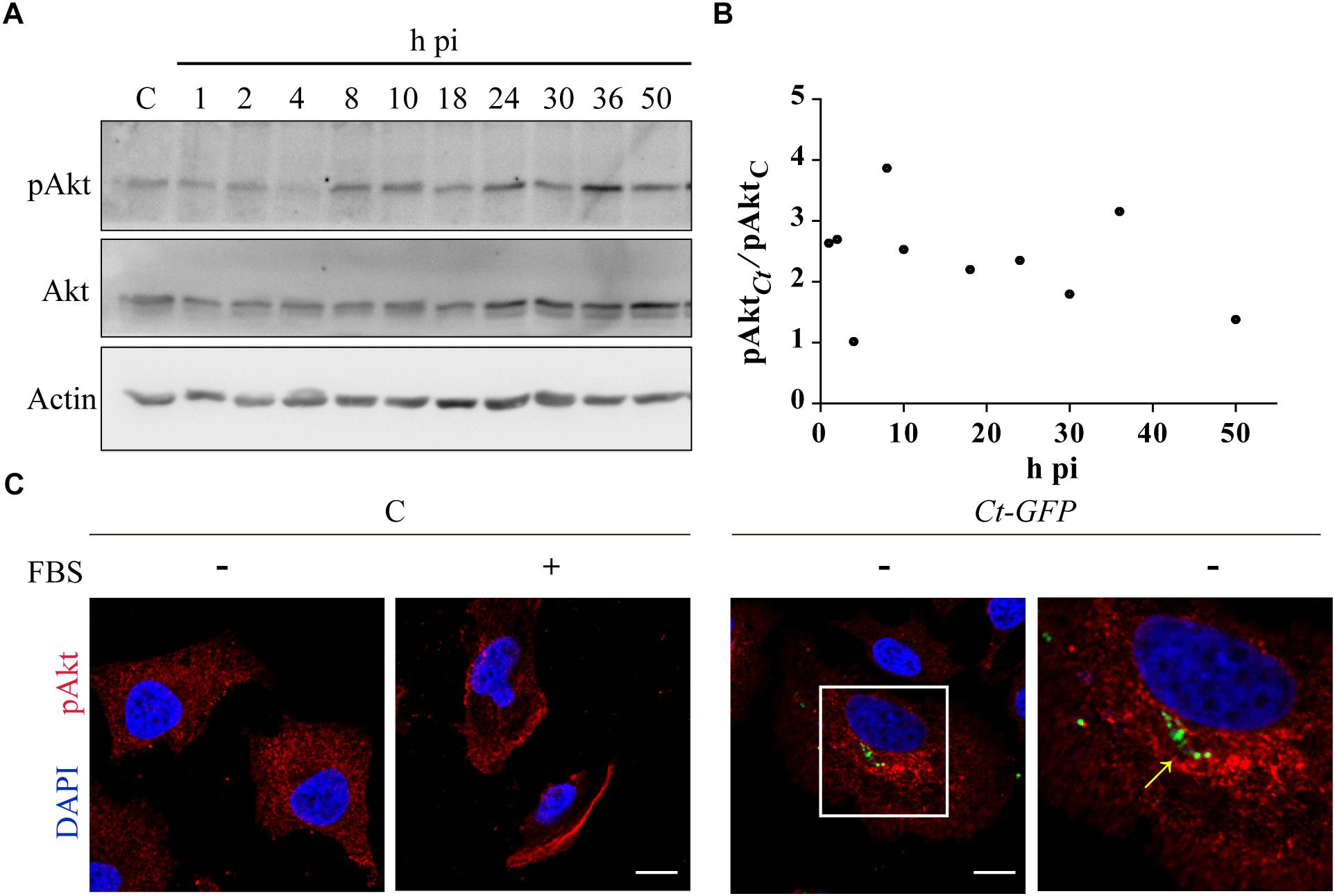 Frontiers | Akt/AS160 Signaling Pathway Inhibition Impairs