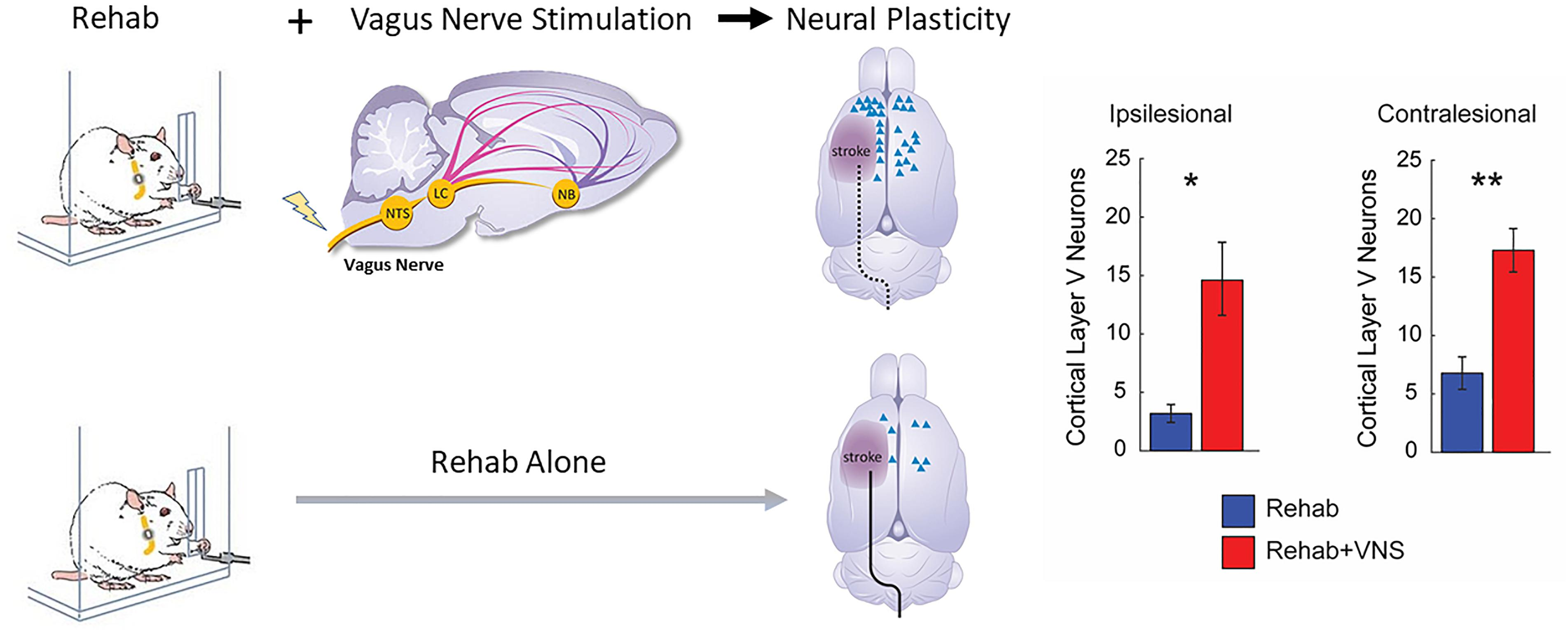 Frontiers | Targeted Vagus Nerve Stimulation for