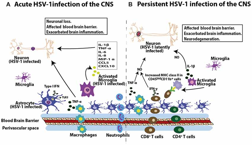 Frontiers | Herpes Simplex Virus Type 1 Infection of the Central