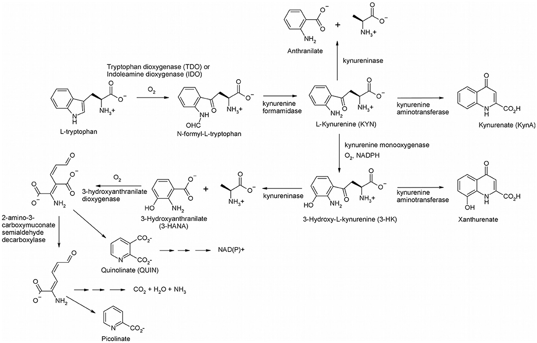 Frontiers | Modulation of Enzyme Activity in the Kynurenine Pathway