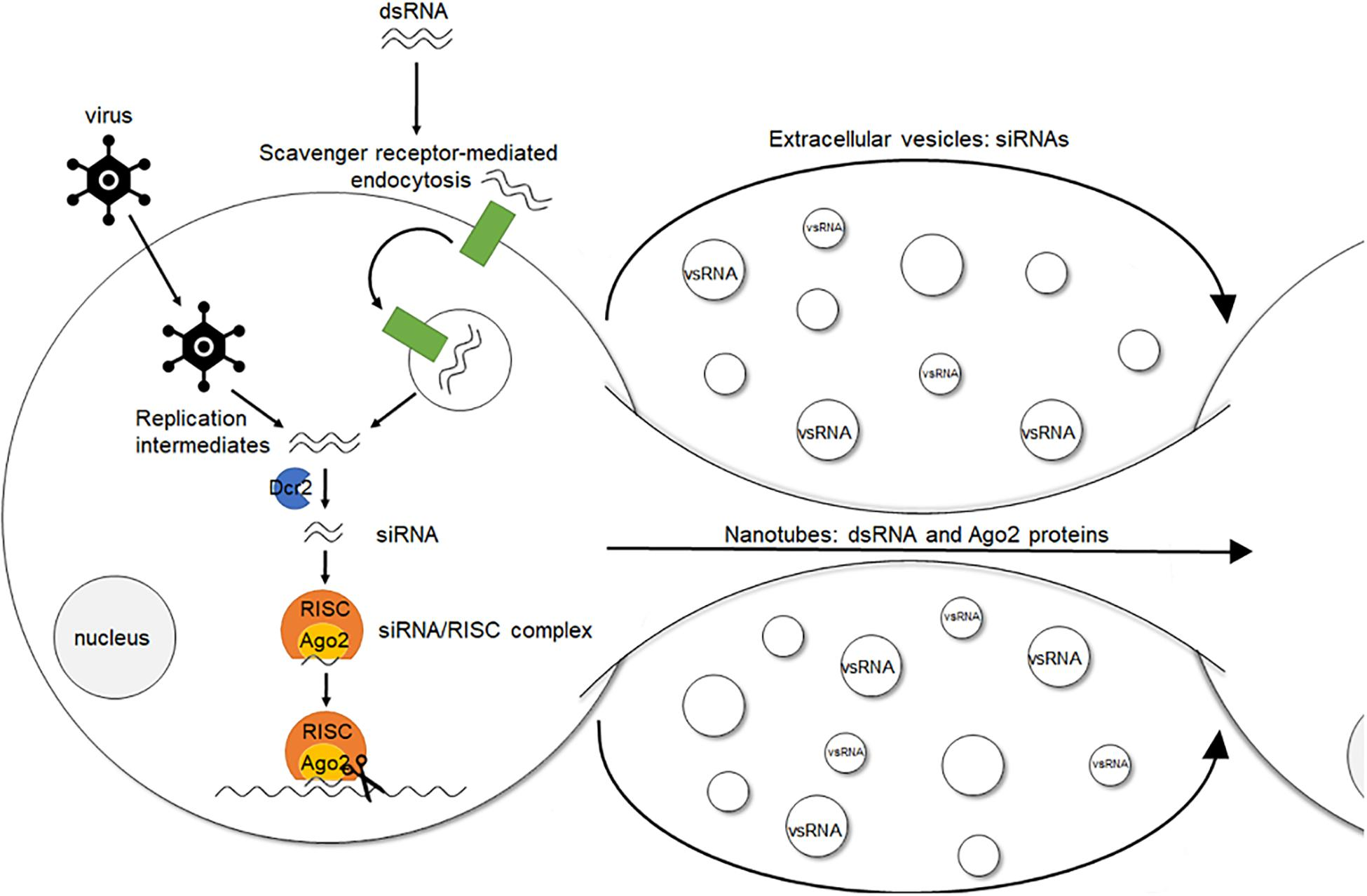 Frontiers Rna Interference In Insects Protecting Beneficials