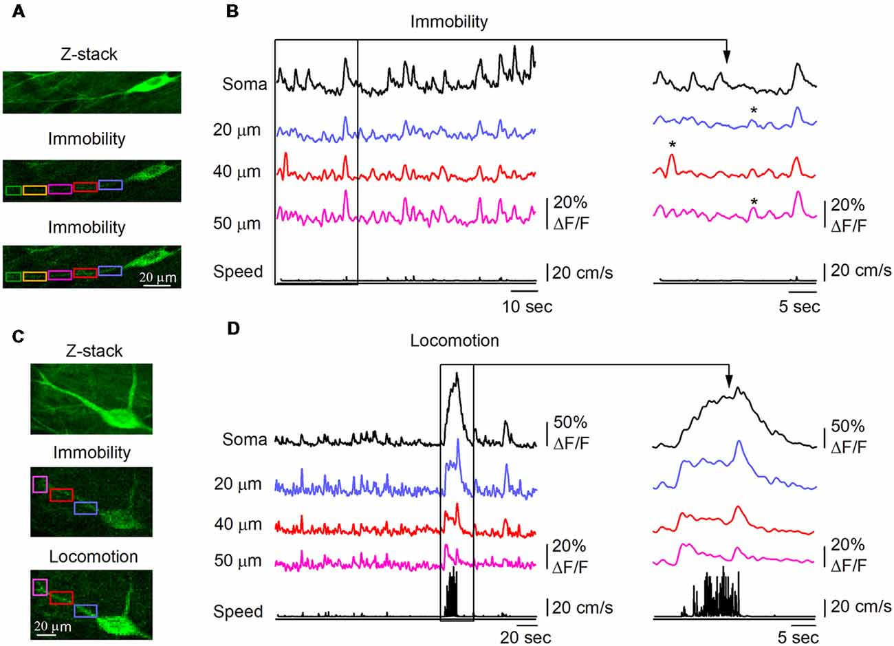 Frontiers   Calcium Dynamics in Dendrites of Hippocampal CA1
