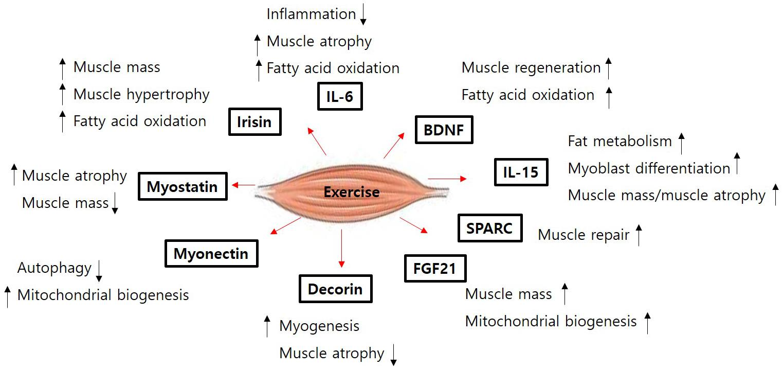 Frontiers   Role of Myokines in Regulating Skeletal Muscle Mass and