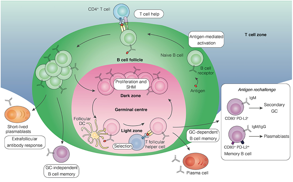 Frontiers | Development of B Cell Memory in Malaria | Immunology