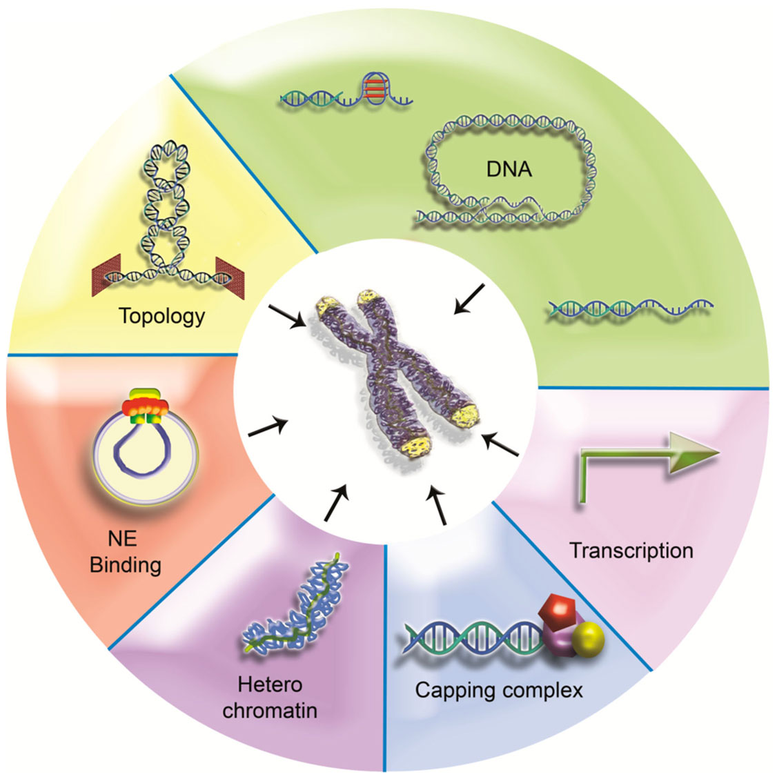 Frontiers   One Identity or More for Telomeres?   Oncology