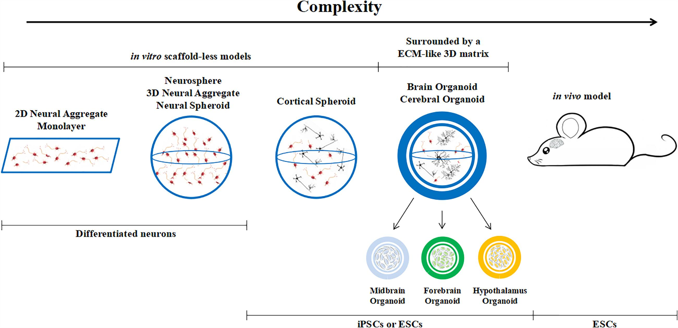 Neurotoxicity Predicted By Organoids >> Frontiers Experimental And Computational Methods For The