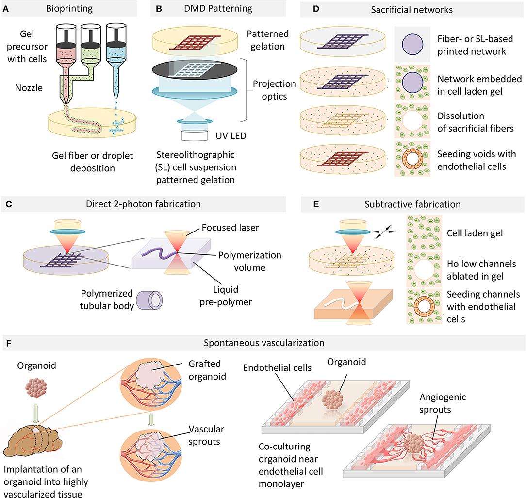 Frontiers Engineering Organoid Vascularization Bioengineering And Biotechnology