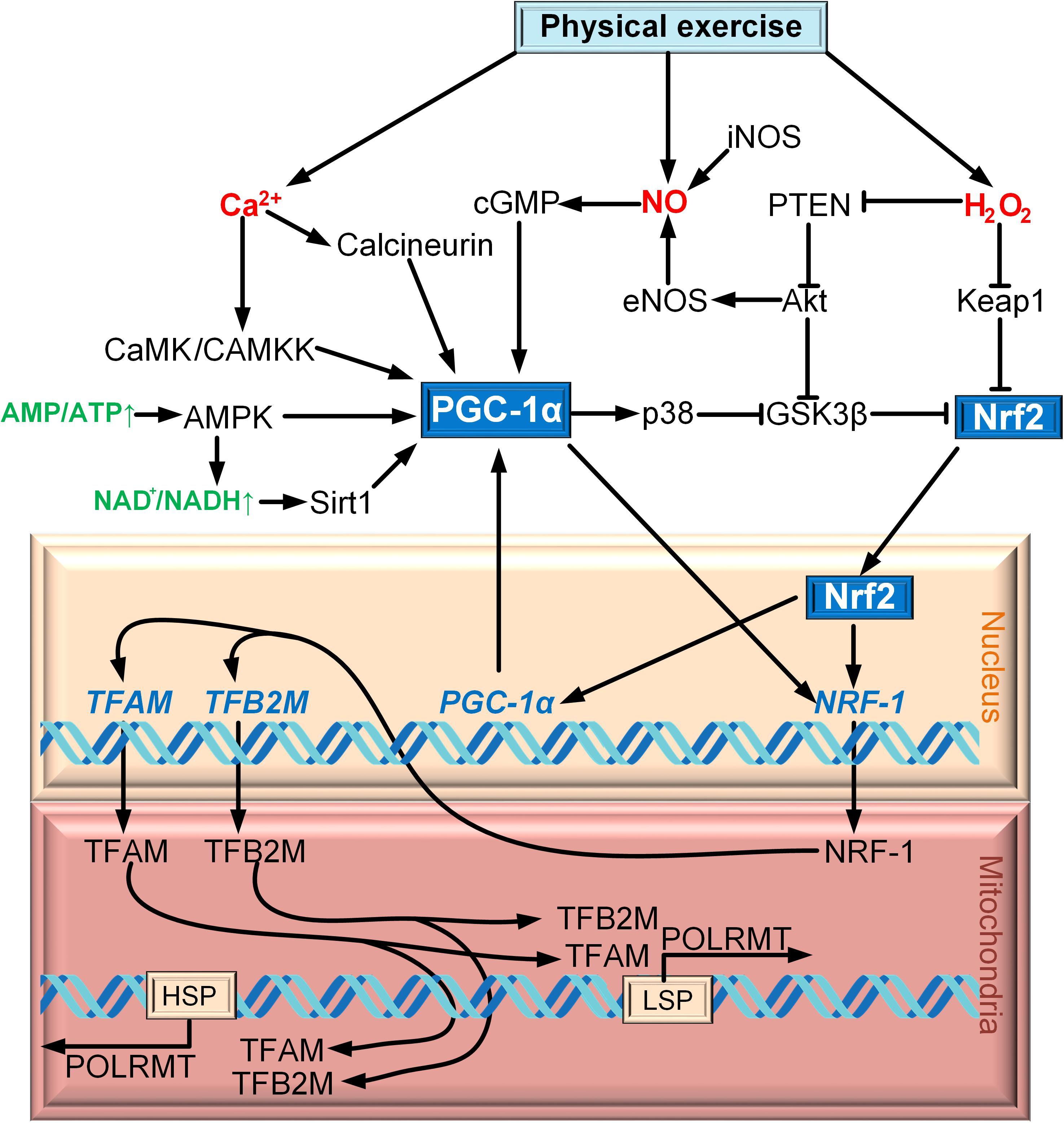 Regulation Of Mitochondrial Biogenesis As A