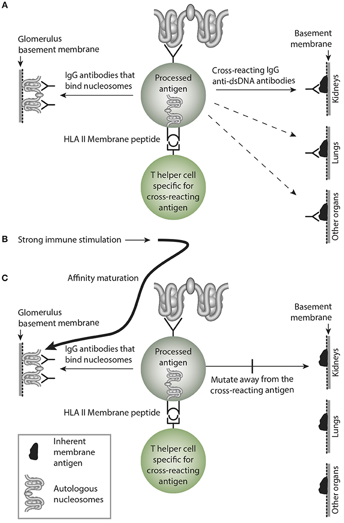 Frontiers | The dsDNA, Anti-dsDNA Antibody, and Lupus Nephritis