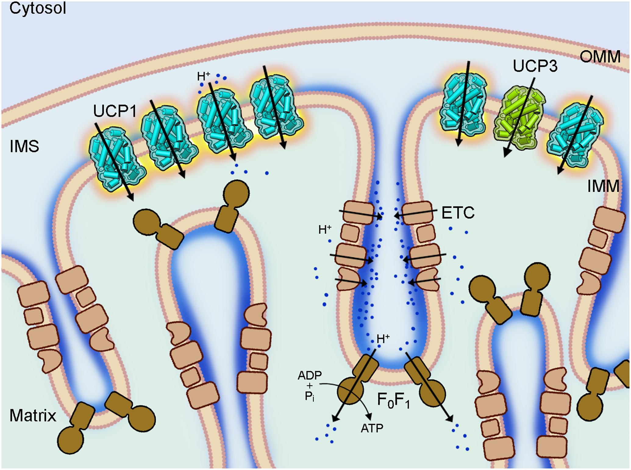 Frontiers | Important Trends in UCP3 Investigation | Physiology