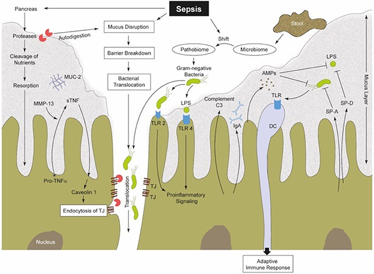 Frontiers | Challenge to the Intestinal Mucosa During Sepsis