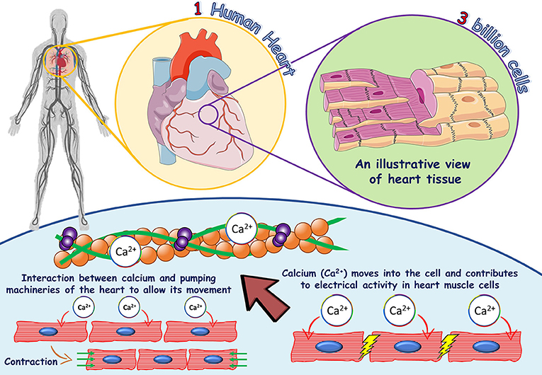 Figure 1 - The role of calcium in heart muscle cells.