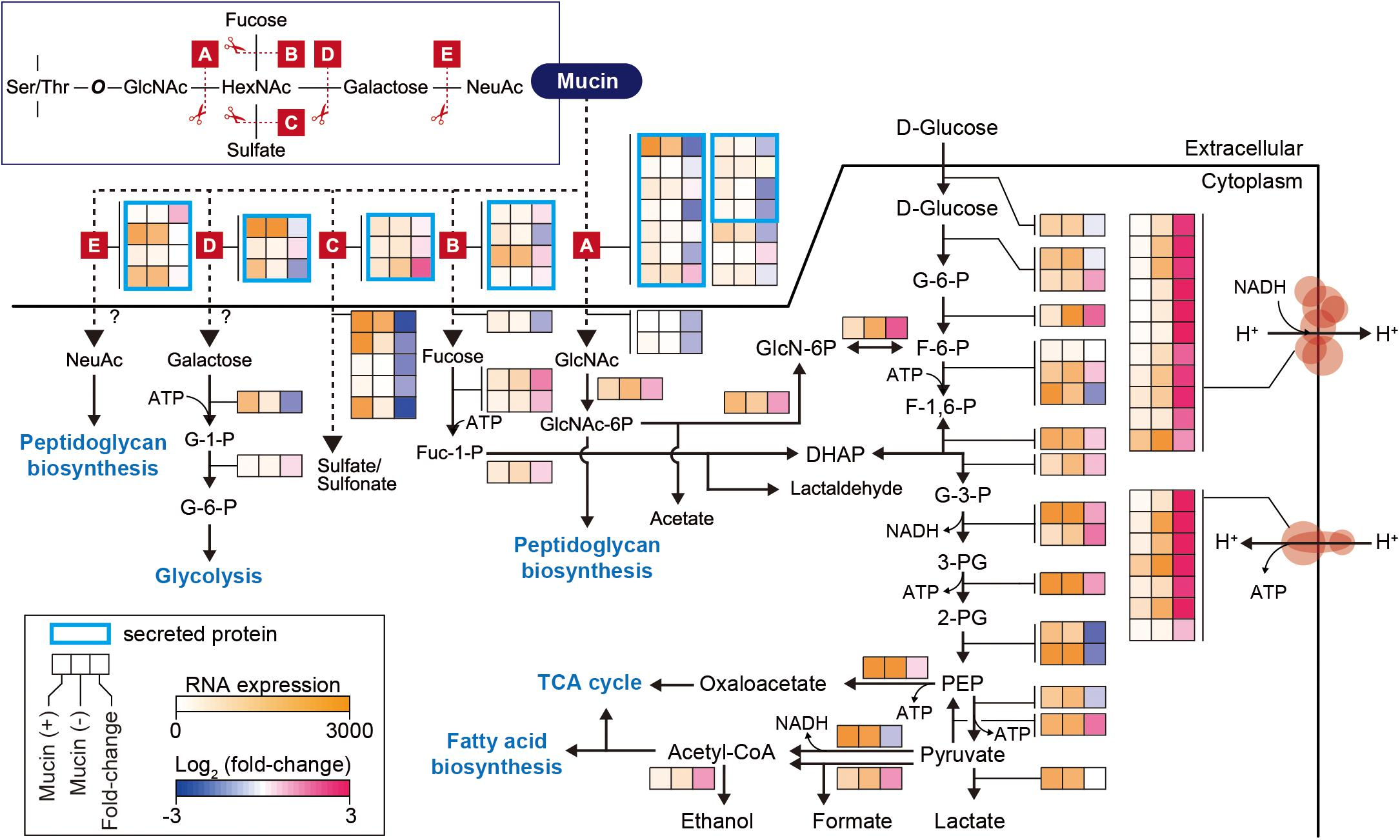 Frontiers | Elucidation of Akkermansia muciniphila Probiotic