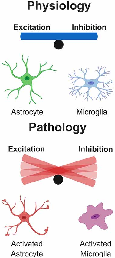 Frontiers | Glial Contribution to Excitatory and Inhibitory