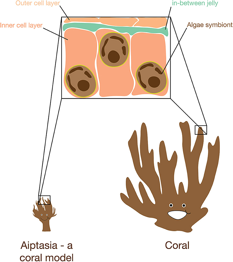 Figure 1 - The surprisingly similar tissue of corals and anemones.