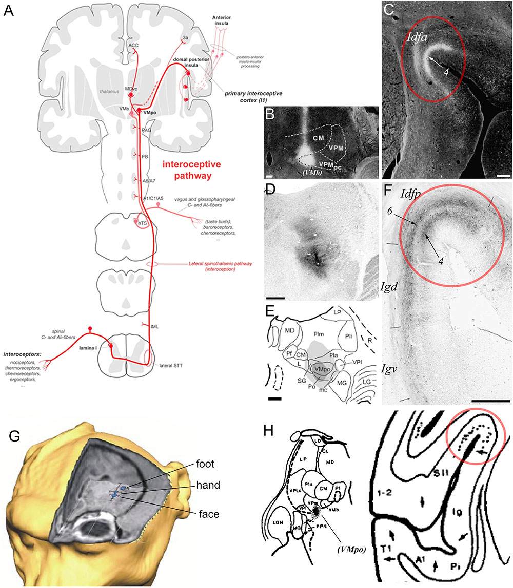 Frontiers | The Organization of the Primate Insular Cortex
