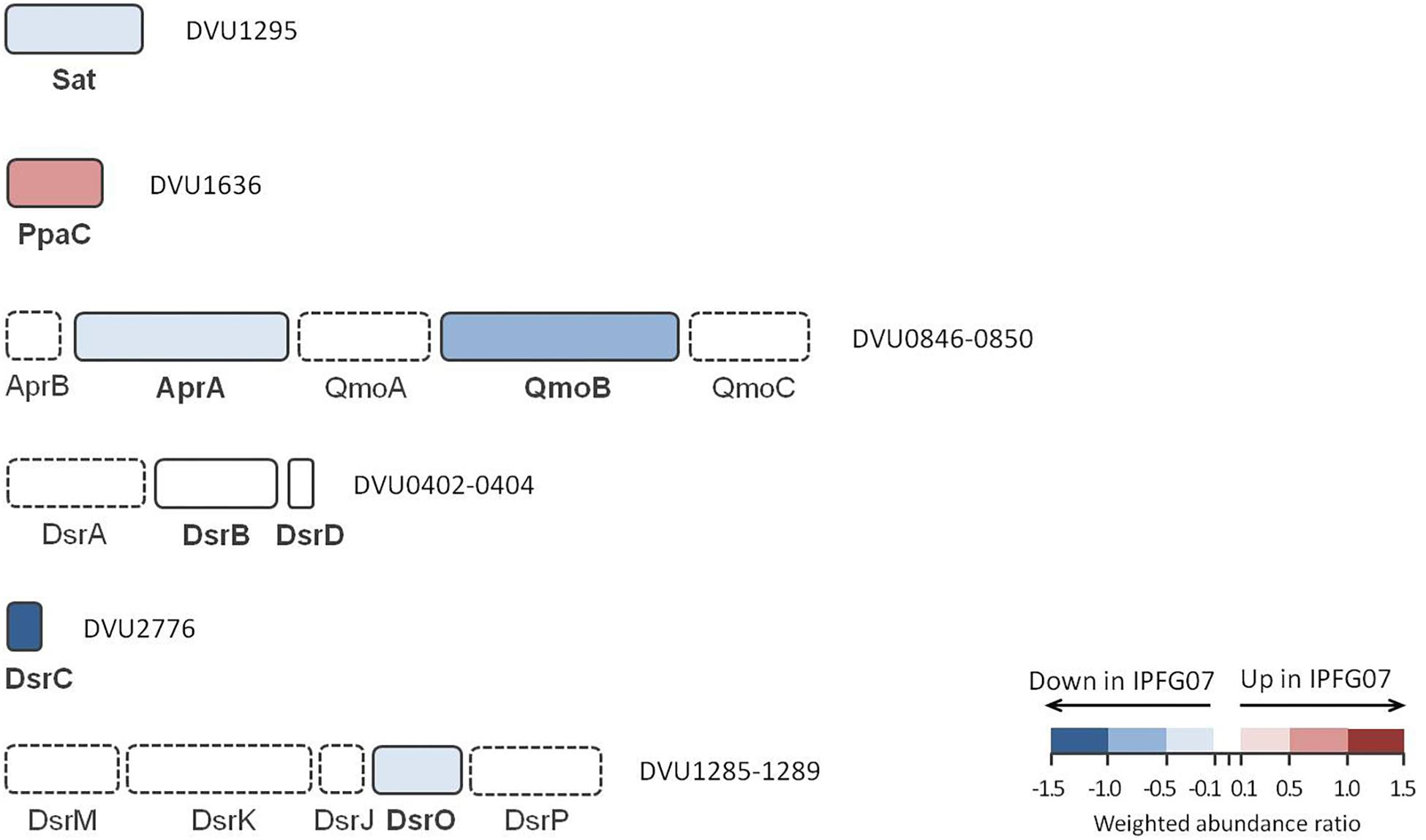 Frontiers | Proteomic and Isotopic Response of Desulfovibrio