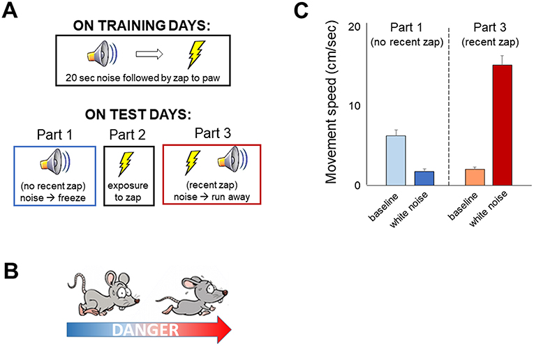 Figure 2 - We use lab rats to study how our brains help keep us safe from danger.