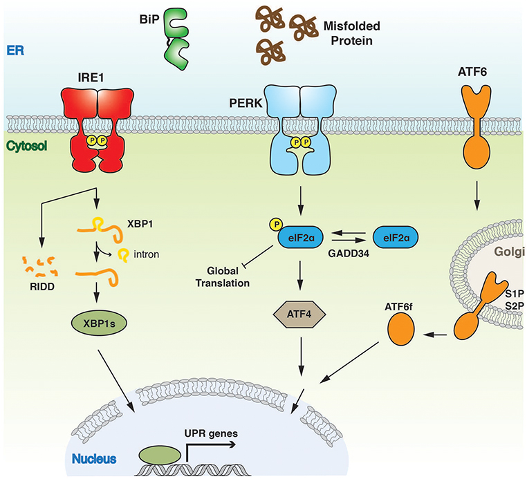 Frontiers | Structure and Molecular Mechanism of ER Stress Signaling