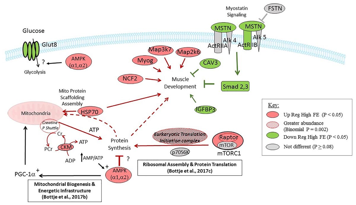Frontiers | Gene Expression Essential for Myostatin ...