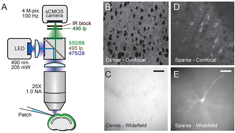 Frontiers | Single-Neuron Level One-Photon Voltage Imaging