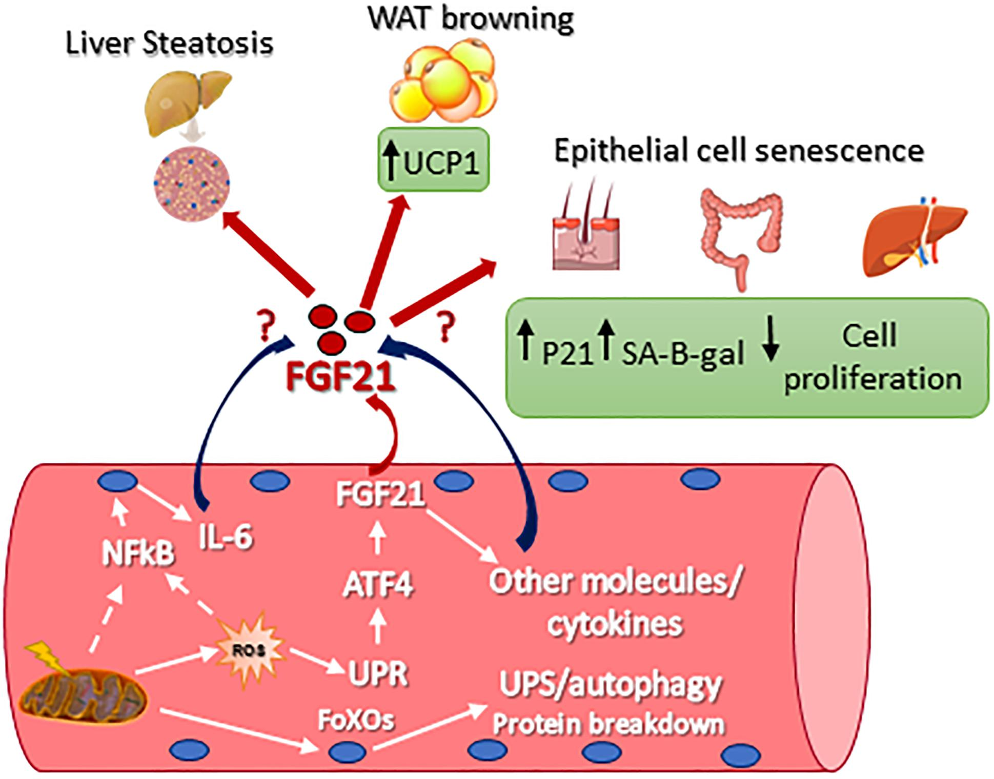 Frontiers | FGF21 as Modulator of Metabolism in Health and Disease