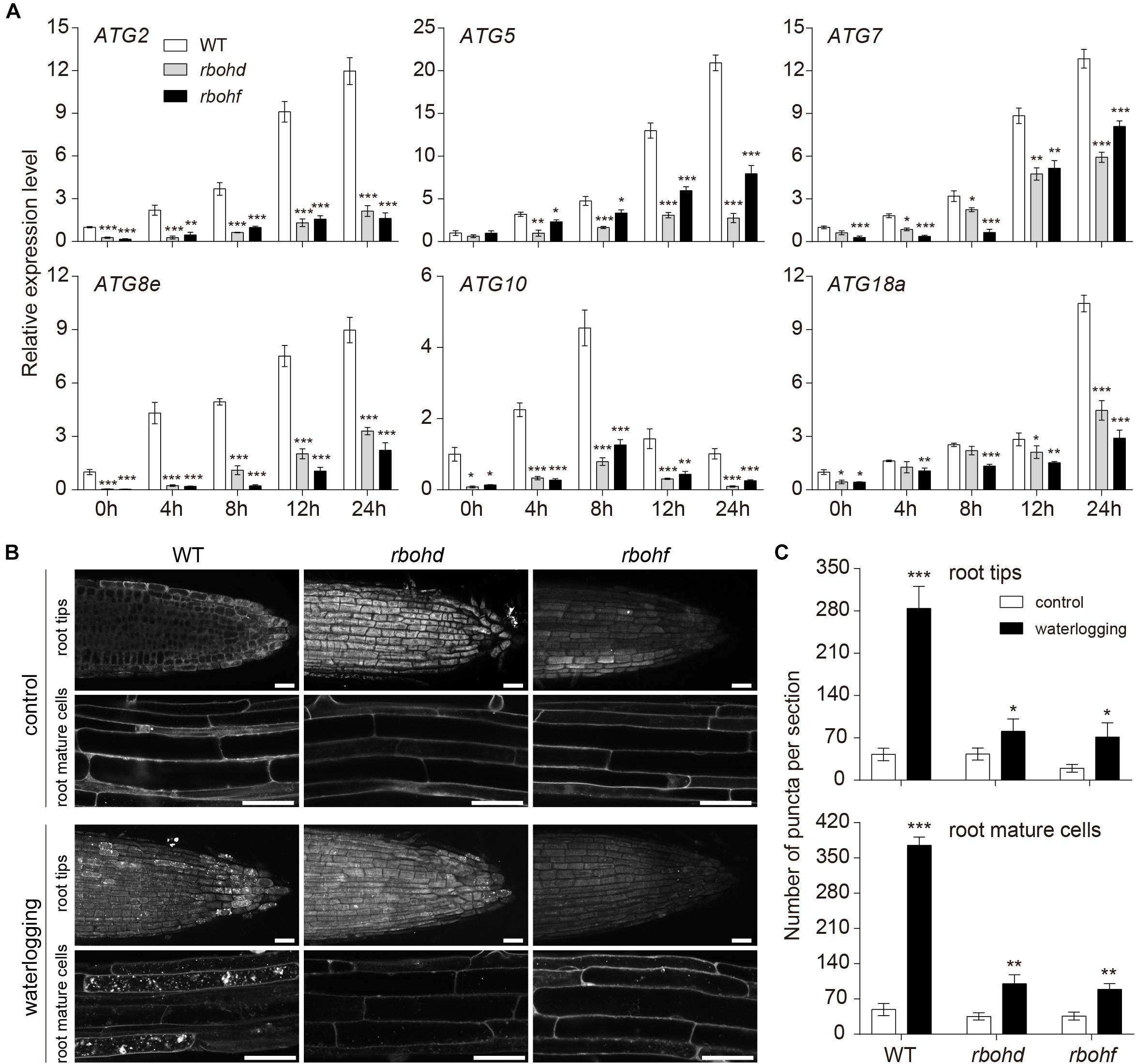 Frontiers | Effect of Waterlogging-Induced Autophagy on Programmed