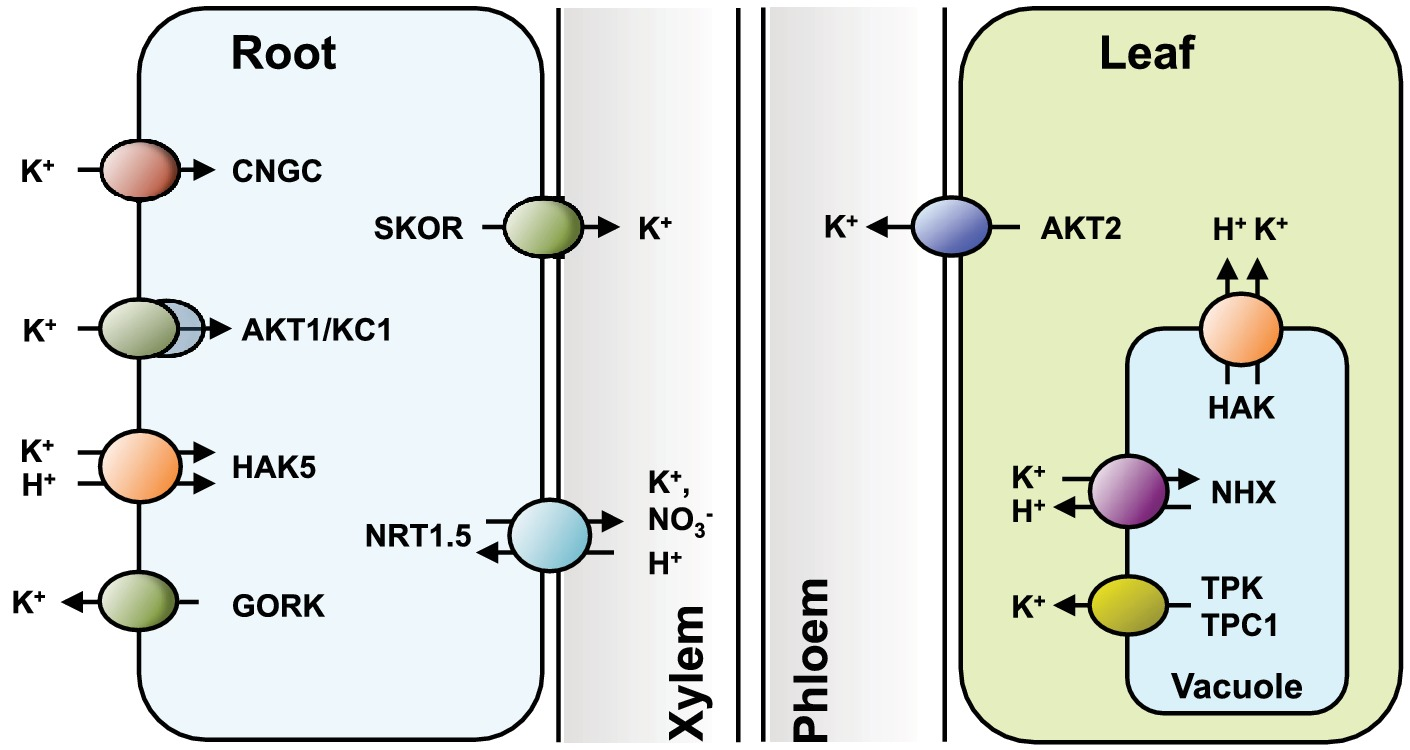 Frontiers | Regulation of K+ Nutrition in Plants | Plant Science