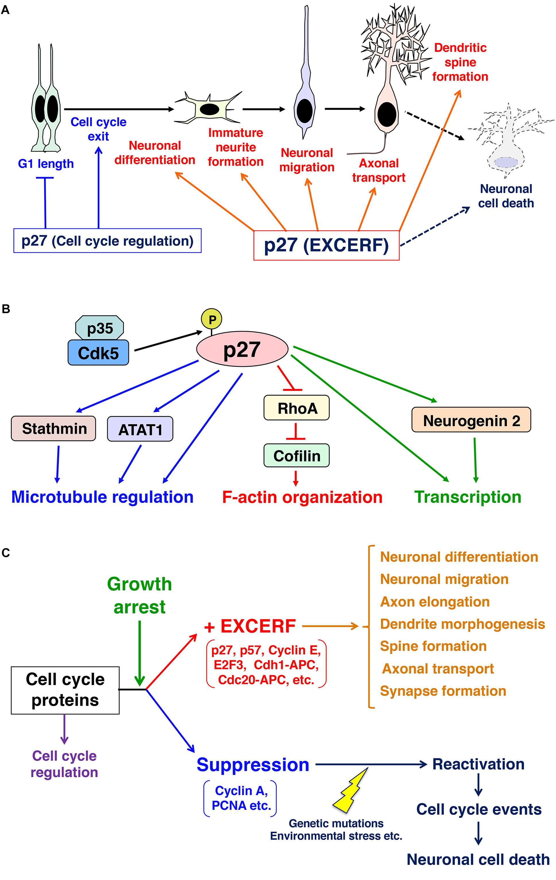 Frontiers | Growth Arrest Triggers Extra-Cell Cycle Regulatory ... on