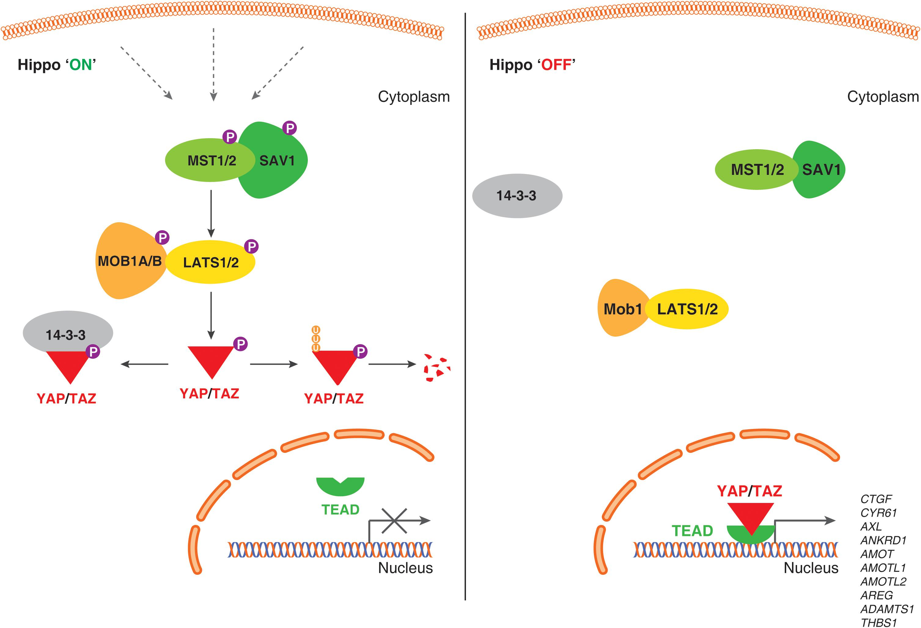 Frontiers | Role of Hippo Pathway-YAP/TAZ Signaling in Angiogenesis
