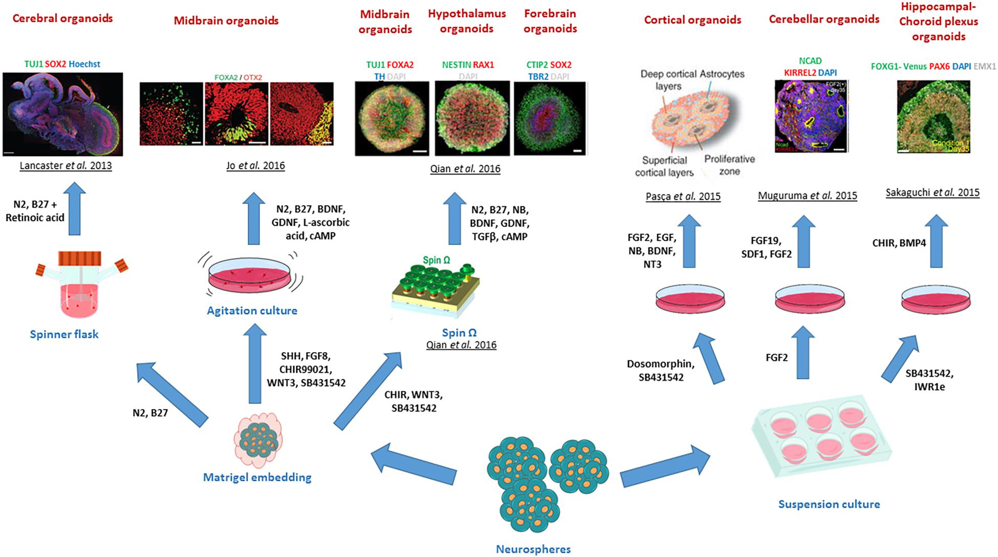 Neurotoxicity Predicted By Organoids >> Frontiers Organs To Cells And Cells To Organoids The