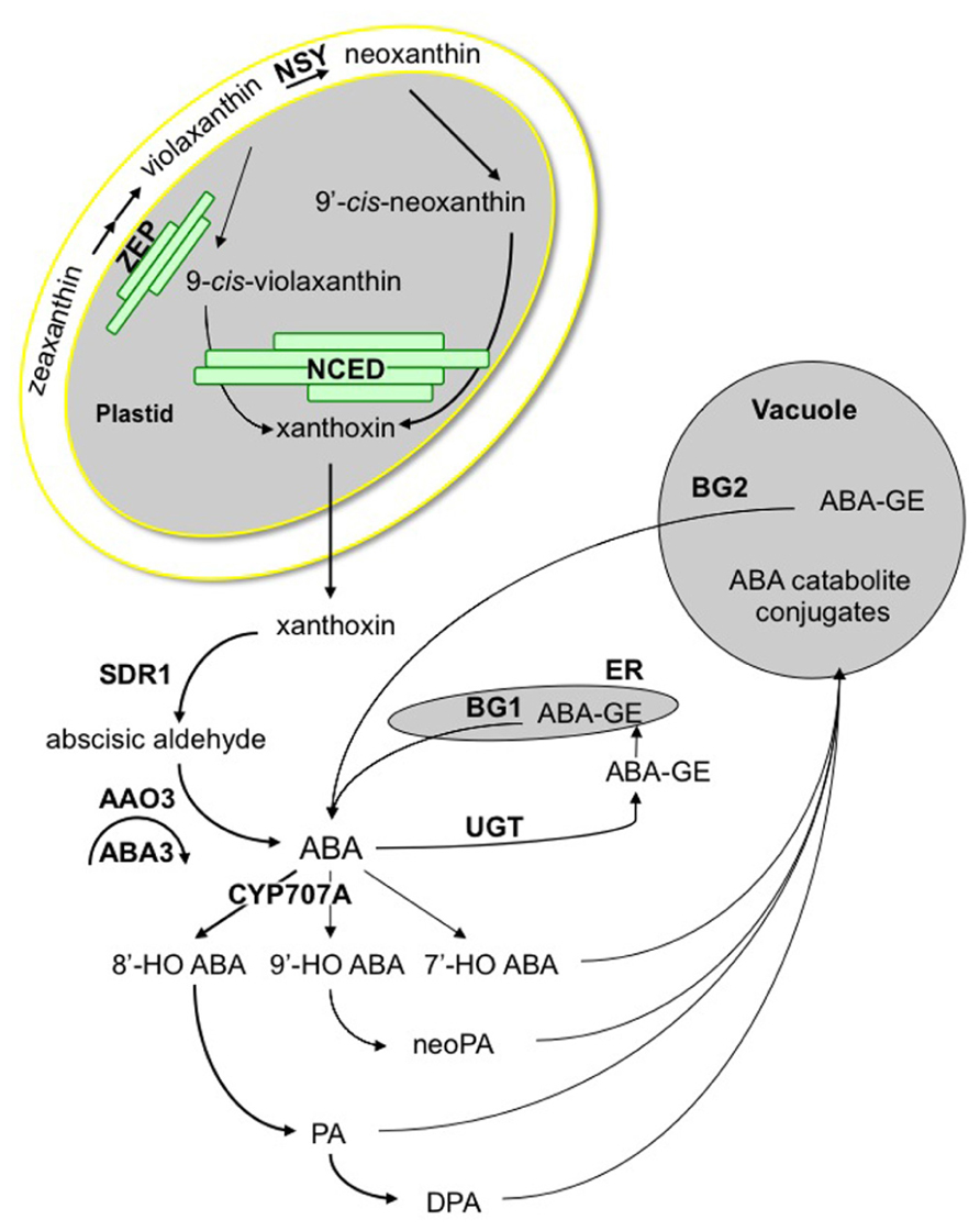 Frontiers Aba Crosstalk With Ethylene And Nitric Oxide In Seed Bean Germination Diagram 9 3 1 Draw Label A Figure