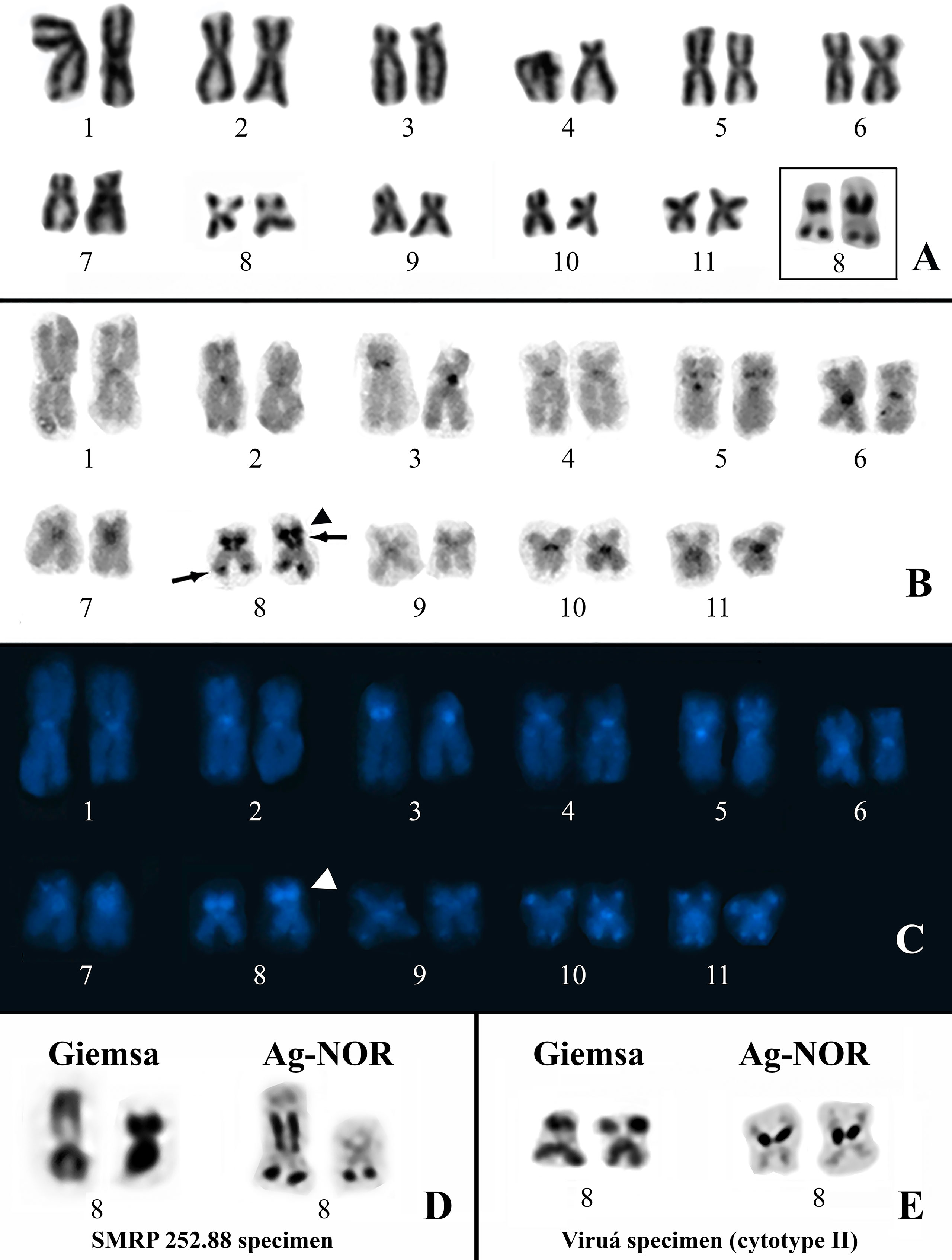 Frontiers | Extensive Cryptic Diversity Within the