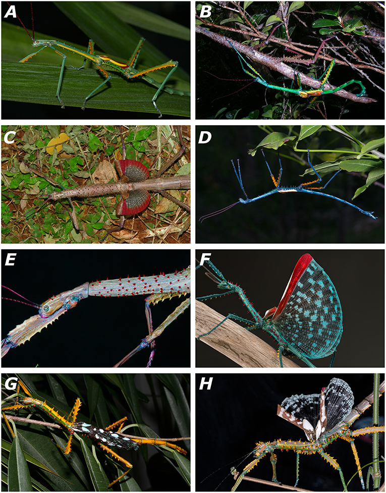 Living specimens of the newly described species of Achrioptera. (A) A. fallax, adult male, captive-bred, reared from eggs of a female from Ankarana (FGZC 1853); (B) A. fallax, mating couple from Daraina (Bekaraoka) (photo by Louis Nusbaumer); (C) A. fallax, adult female with exposed wings from Ankarana National Park (FGZC 1853); (D) A. manga, adult male paratype (FGZC 1334) from Foret d'Orangea; (E) A. manga, adult female; (F) A. spinosissima, adult male reared from eggs collected at Marofandilia, near the type locality in west Madagascar (photo by Bruno Kneubühler); (G) A. maroloko sp. nov., adult male paratype (FGZC 4052) reared from eggs collected at Montagne des Français in dorsolateral view; (H) A. maroloko, adult female paratype (FGZC 4055), bred in captivity from ancestors of Montagne des Français (photo by Moritz Grubenmann)