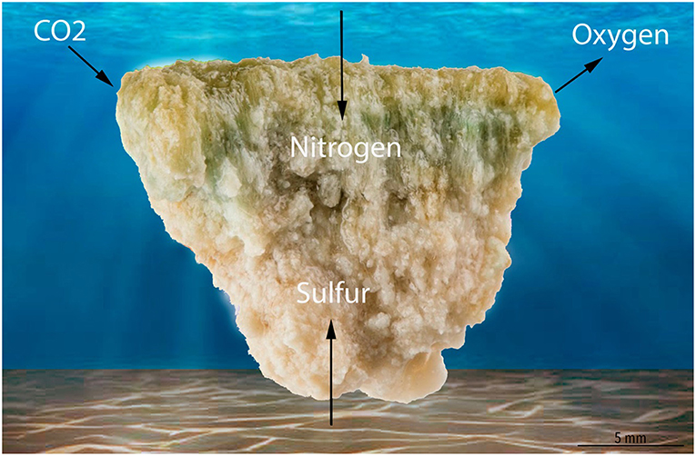 Figure 3 - Many microbes build microbialites.